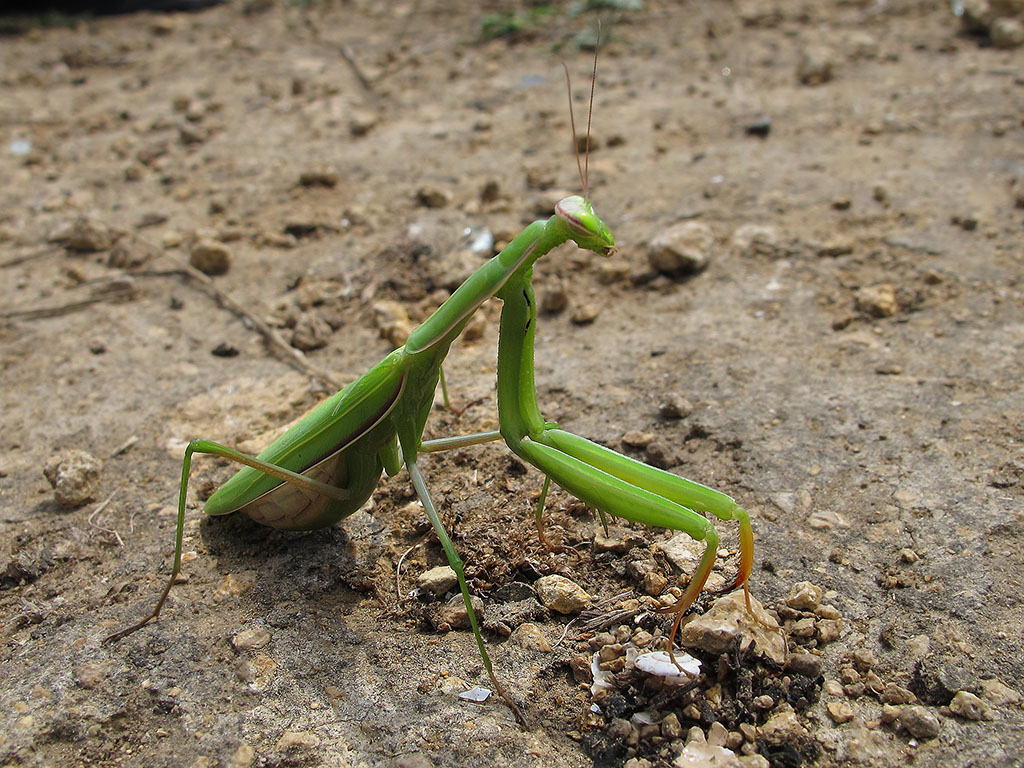 Самка богомола обыкновенного (Mantis religiosa). Автор фото: Ирина Уханова
