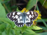 s:дневные бабочки,s:чешуекрылые,s:бабочки