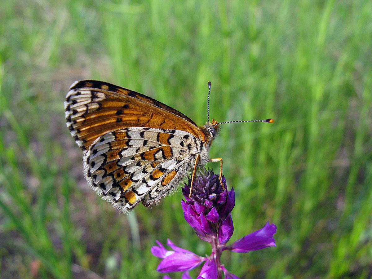 Шашечница обыкновенная (Melitaea cinxia). Автор фото: