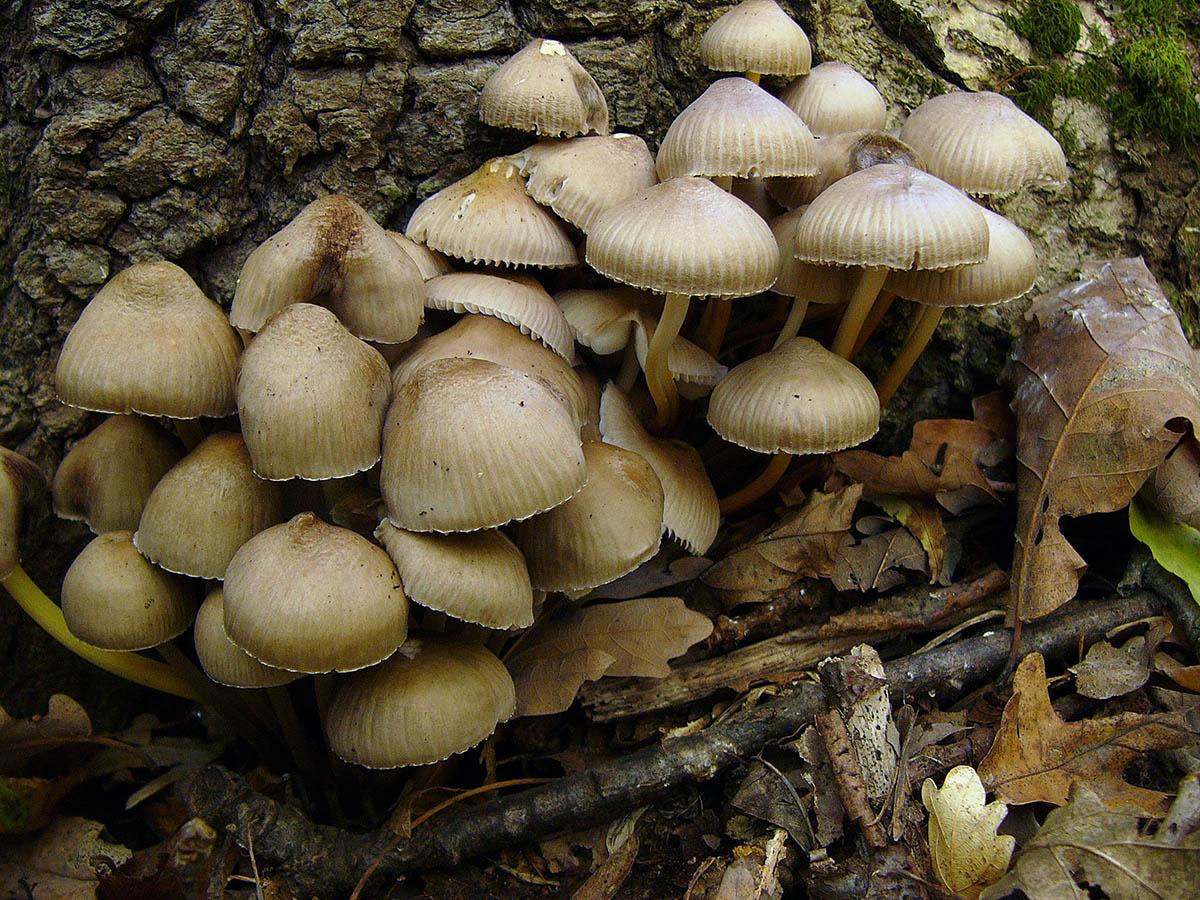 Мицена наклоненная (Mycena inclinata). Автор фото:Ирина Уханова