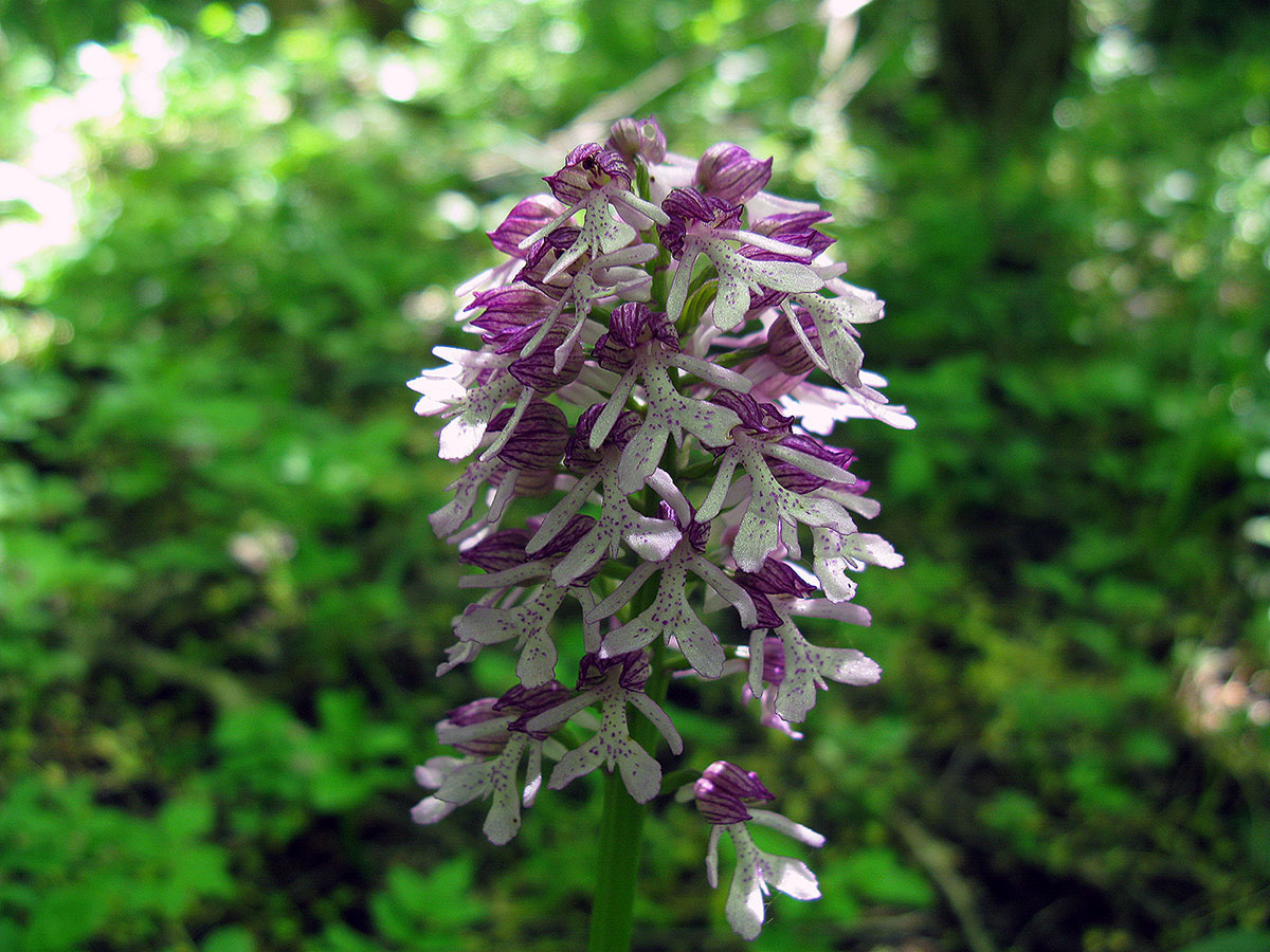 Ятрышник <span class=wiki>пурпурный</span> кавказский (Orchis caucasica). Автор фото: Ирина Уханова