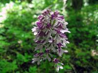 s:травянистые,s:наземные,s:многолетние,s:клубневая,c:белые,c:пурпурные,c:розовые,c:фиолетовые или лиловые,d:в широколиственных лесах