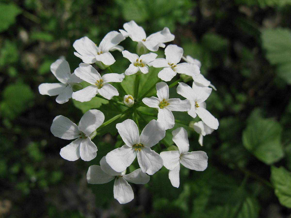 Толстостенка крупнолистная (Pachyphragma macrophyllum). Автор фото: