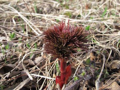 Пион тонколистный (Paeonia tenuifolia) Автор: Ирина Уханова