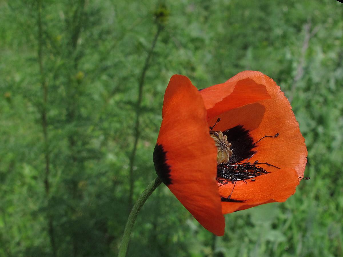 Мак Стевена (Papaver stevenianum). Автор фото:Ирина Уханова