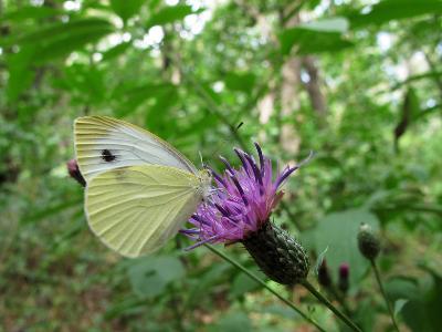 Капустница (Pieris brassicae) Автор: Ирина Уханова