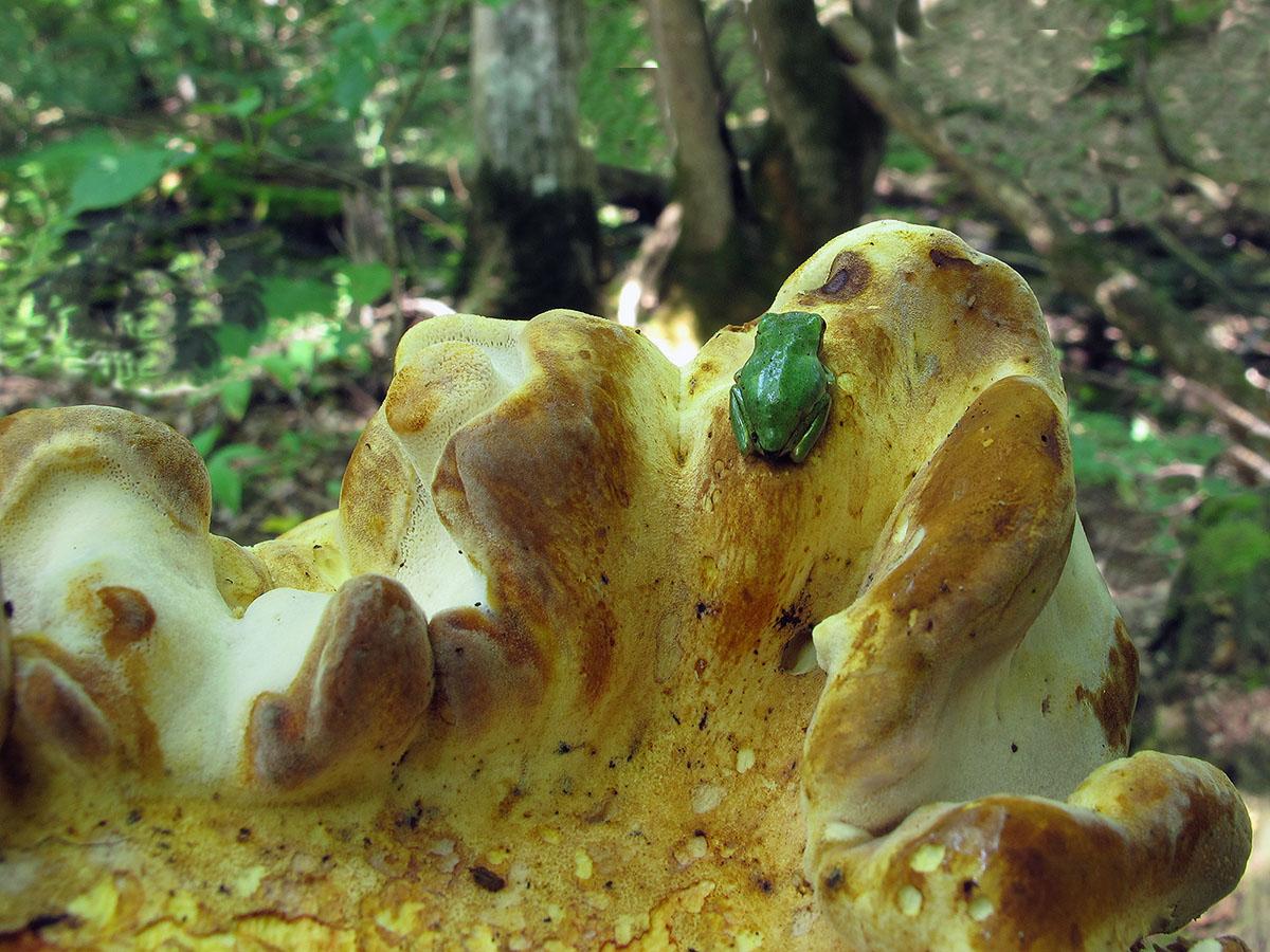 Пиптопорус дубовый (Piptoporus quercinus) и квакша. Автор фото:Ирина Уханова
