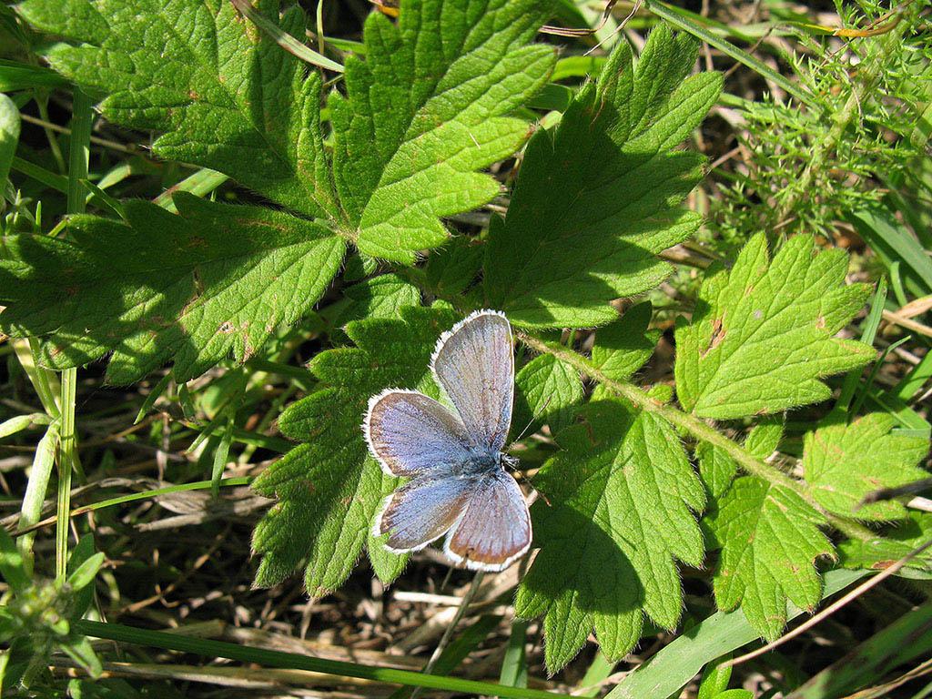 Голубянка Аргус (Plebeius argus). Автор фото: Ирина Уханова