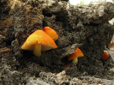 Плютей оранжево-морщинистый (Pluteus aurantiorugosus) Автор: Ирина Уханова