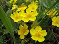 c:желтые,околоцветник актиноморфный,лепестков 5,i:Красная книга КО,s:травянистые