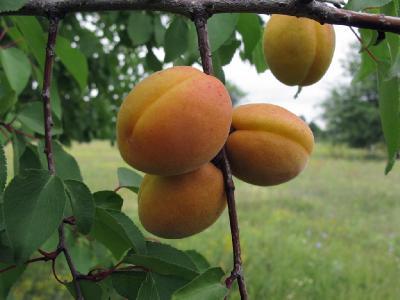 Синоним: Prunus armeniaca Автор фото: Ирина Уханова