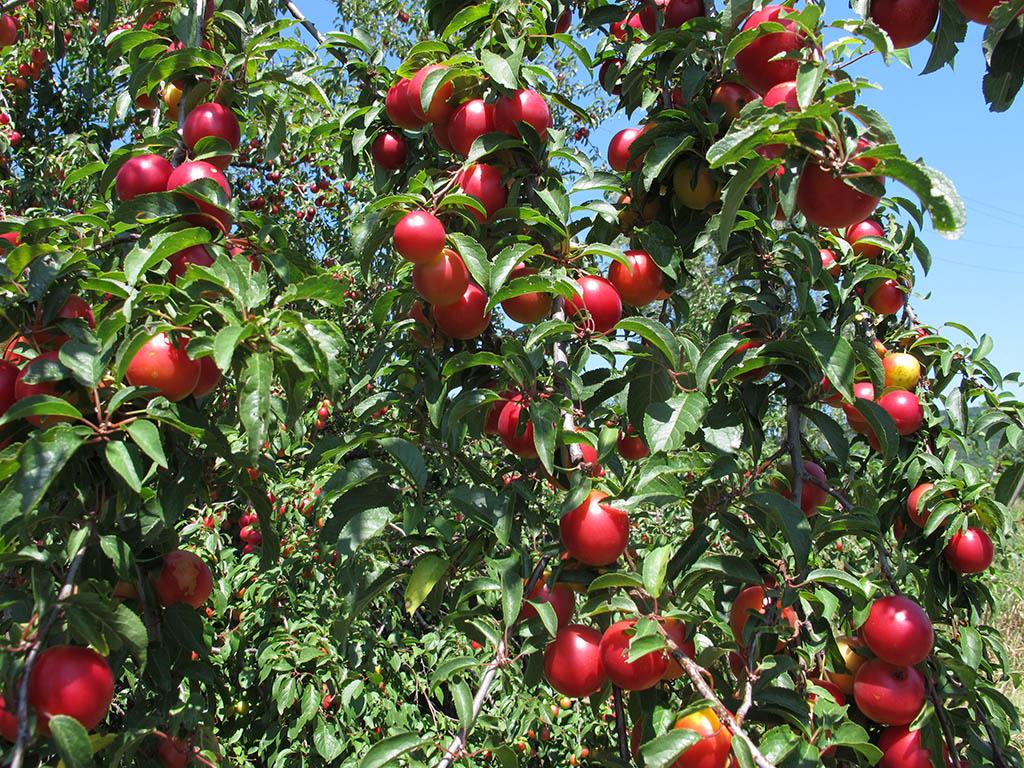 Слива вишненосная (Prunus cerasifera). Автор фото: Ирина Уханова