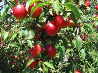 s:деревья,c:белые,лепестков 5,околоцветник актиноморфный,с колючками,f:костянка,ягоды жёлтые;ягоды красные,ягоды фиолетово-чёрные