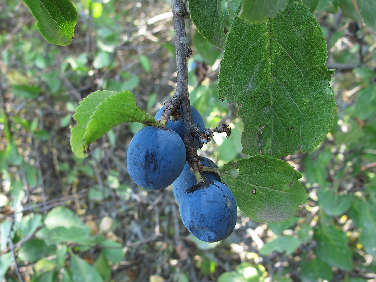 Слива колючая (Prunus spinosa). Автор фото:Ирина Уханова