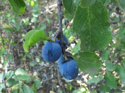 Слива колючая (Prunus spinosa) Автор: Ирина Уханова
