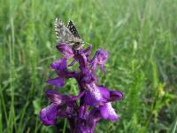 l: переднего крыла до 14 мм,размах крыльев до 25 мм,s:бабочки