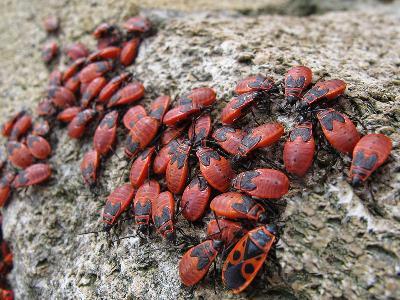 Синонимы: Красноклоп бескрылый. На переднем плане имаго (взрослое насекомое), остальные личинки.  Автор фото: Ирина Уханова