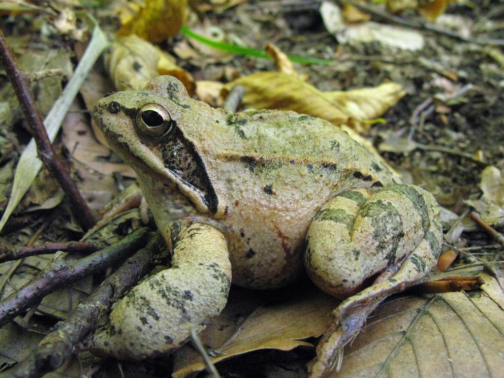 Лягушка травяная Rana temporaria. Автор фото: Ирина Уханова