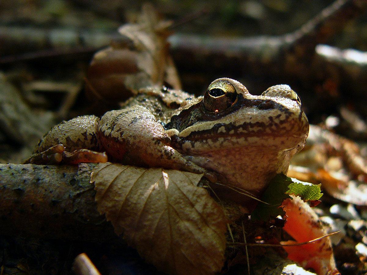Лягушка травяная (Rana temporaria). Автор фото:Ирина Уханова
