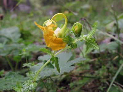Хоботник восточный (Rhynchocorys orientalis) Автор: Ирина Уханова