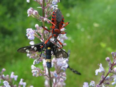 Клоп-хищнец красный (Rhynocoris iracundus) напал на лжепестрянку черноусую  (Amata nigricornis) Автор фото: Ирина Уханова