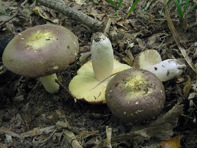 Шляпка может достигать в диаметре 20 см.  В молодом возрасте шляпка полушаровидная, затем выпуклая, раскрытая, в середине часто вогнутая. Цвет оливково-зеленоватый, пурпурно-зеленоватый, винно-бурый. Кожица гладкая, затем бархатистая, снимается на ¼ радиуса. Характерной особенностью является кольцевая морщинистость кожицы. Ножка цилиндрическая,  веретеновидная, часто суженная книзу, диаметром до 4 см, высотой до 15 см. Цвет  белый, при созревании сановится розовым, карминно-розовым. Пластинки частые, толстые, сначала желтоватые, затем жёлто-охряные, край бывает красноватым. Мякоть толстая, белая, вкус мягкий, сладковатый, запах невыразительный. Встречается с лета до осени в лиственных, смешанных, реже хвойных лесах, предпочитает буки, дубы, грабы, берёзы.   Ставропольский край, заказник «Русский лес», широколиственный лес. 13 июля 2013 г. Автор фото: Ирина Уханова
