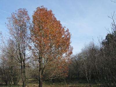Ставропольский край, Ставрополь, Ботанический сад, 28 ноября 2009г. Дерево в осенней окраске Автор фото: Ирина Уханова