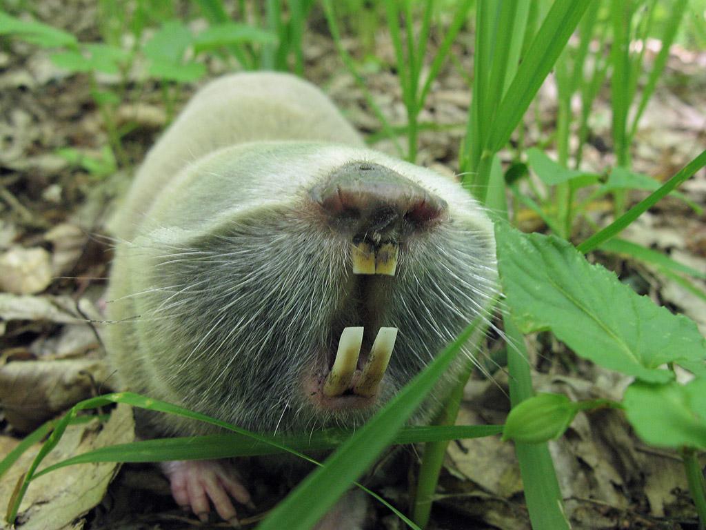 Слепыш обыкновенный (Spalax microphthalmus). Автор фото: Ирина Уханова