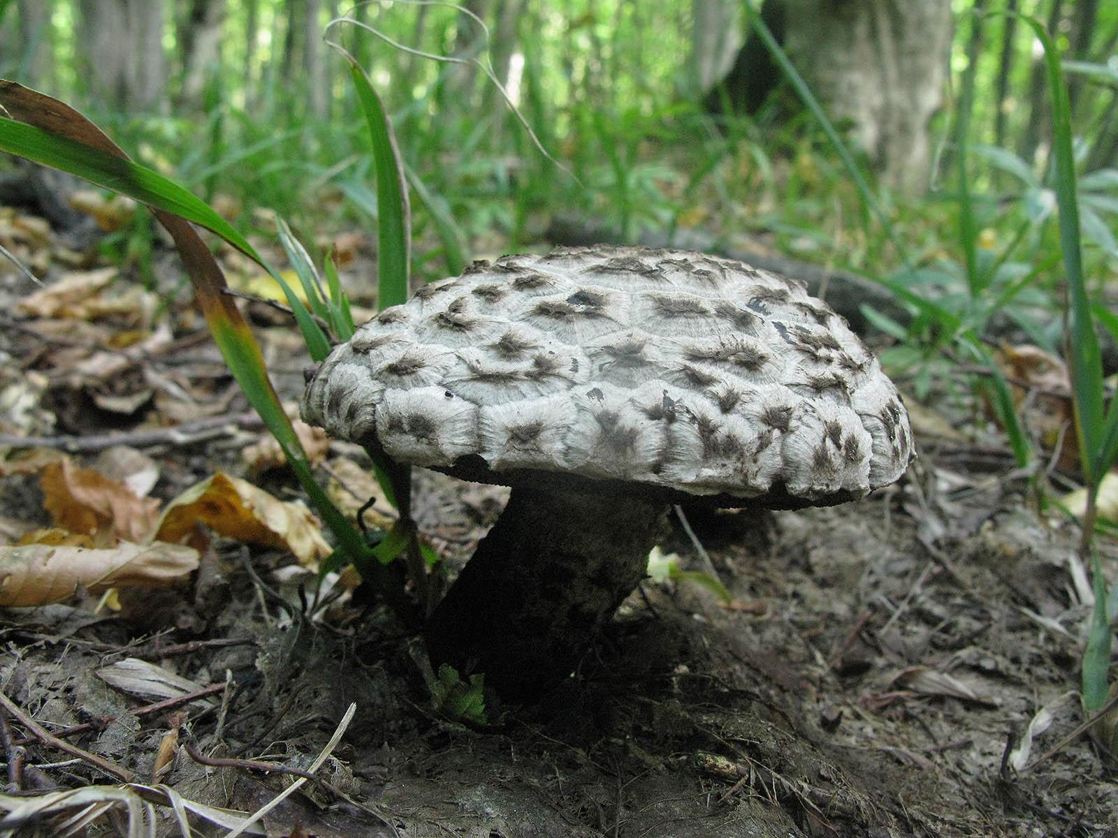 Шишкогриб хлопьеножковый (Strobilomyces strobilaceus). Автор фото:Ирина Уханова