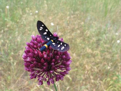 Синоним: Amata nigricornis Автор фото: Ирина Уханова