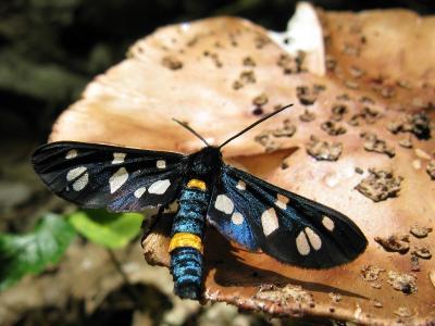 Ложная пестрянка черноусая (Amata nigricornis) Автор: Ирина Уханова