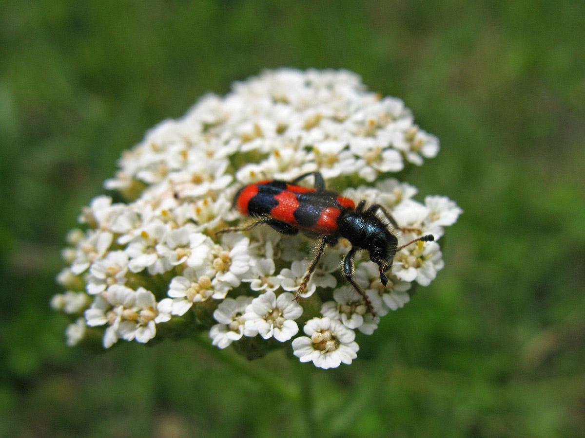Пестряк пчелиный (Trichodes apiarius) на тысячелистнике (Achillea millefolium). Автор фото: Ирина Уханова