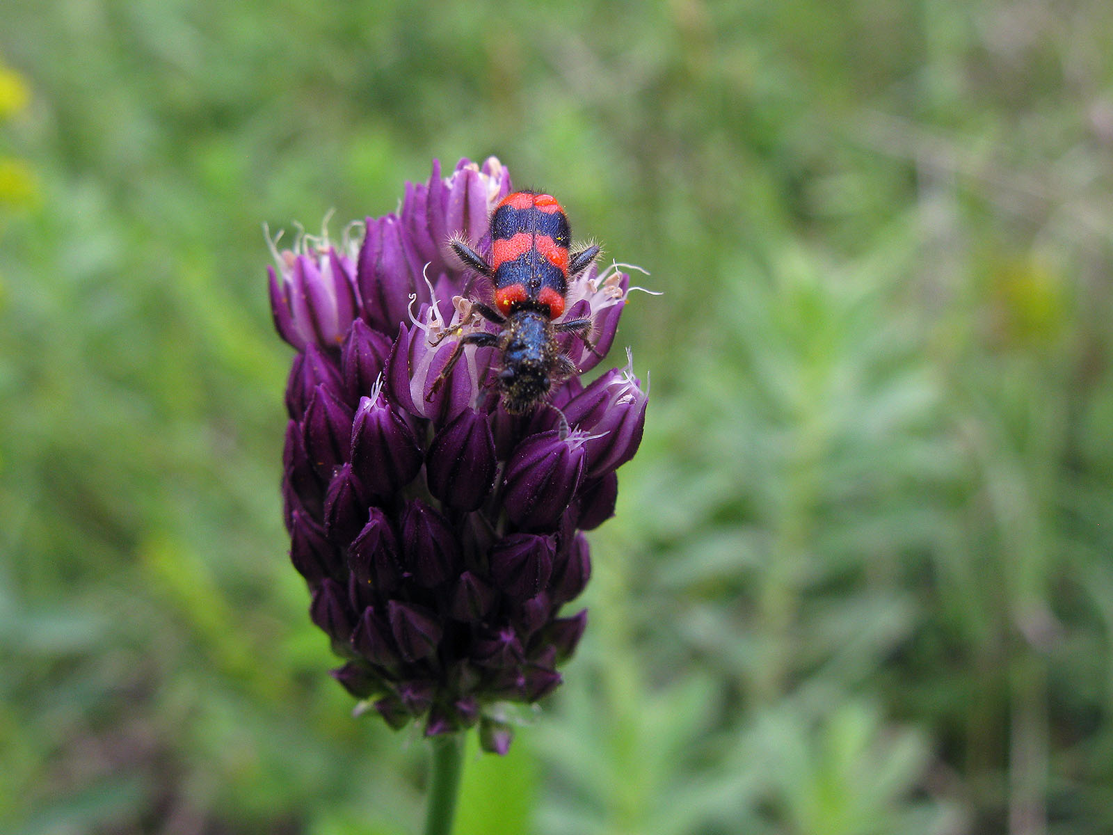 Пестряк пчелиный (Trichodes apiarius) на луке круглом (Allium rotundum). Автор фото:Ирина Уханова