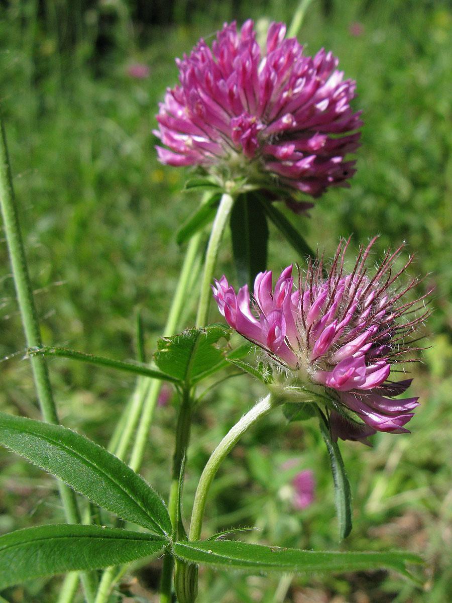 Клевер альпийский (Trifolium alpestre). Автор фото:
