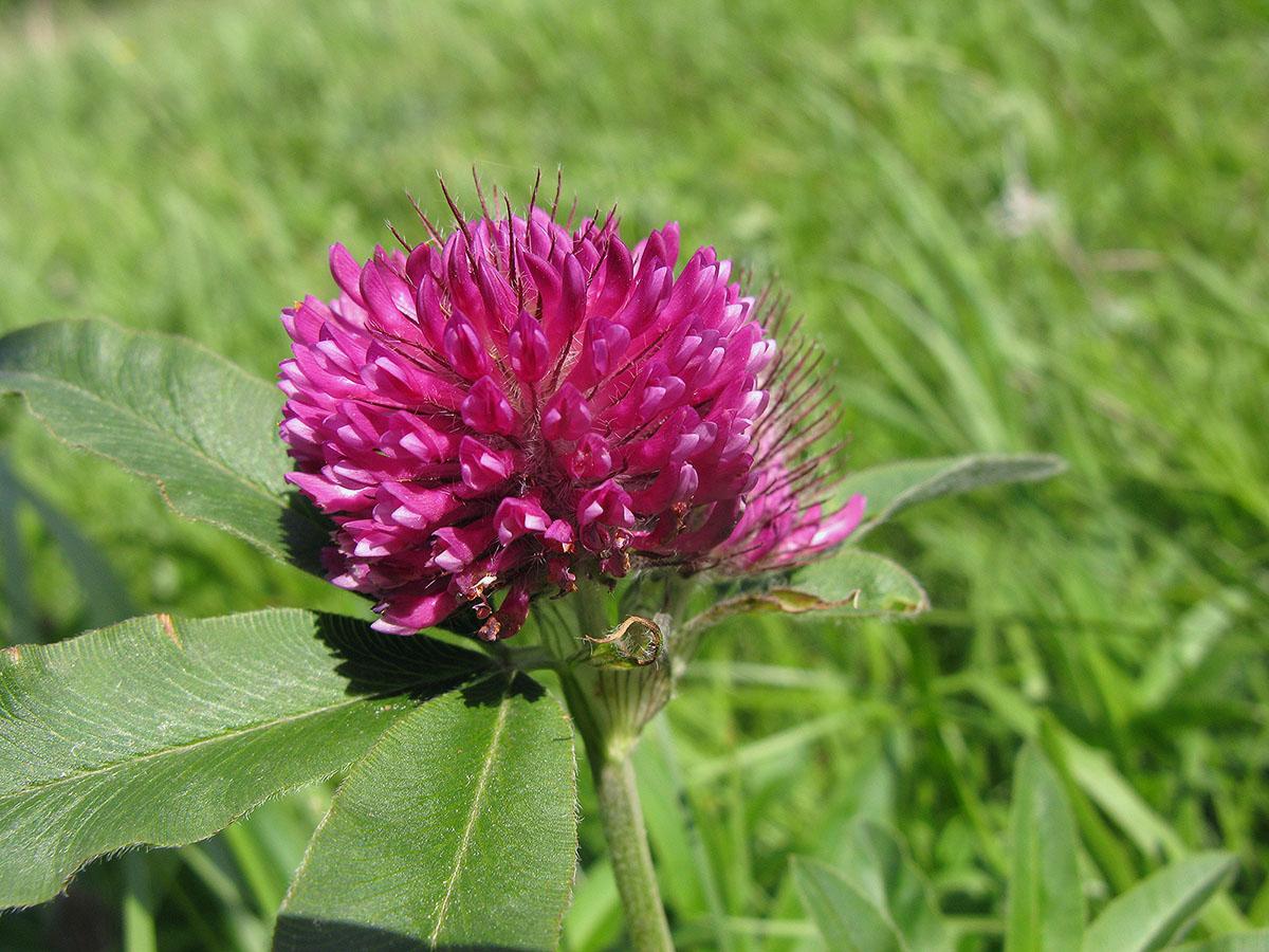 Клевер альпийский (Trifolium alpestre). Автор фото:Ирина Уханова