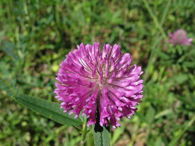 Клевер альпийский (Trifolium alpestre) Автор: Ирина Уханова