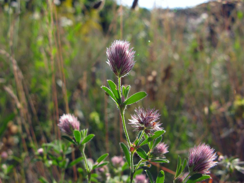 Клевер пашенный Trifolium arvense. Автор фото: Ирина Уханова
