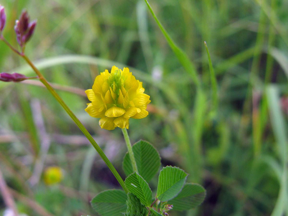 Клевер полевой (Trifolium campestre ). Автор фото: Ирина Уханова