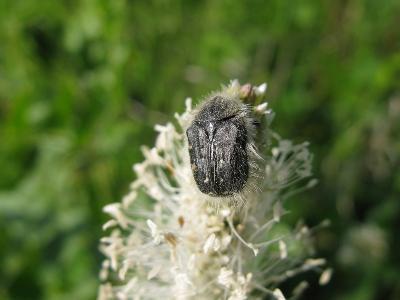 Олёнка мохнатая (Tropinota hirta) Автор: Ирина Уханова