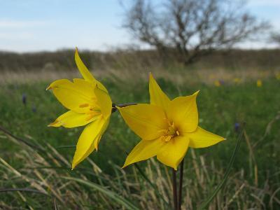 Тюльпан Биберштейна (Tulipa biebersteiniana) Автор: Ирина Уханова