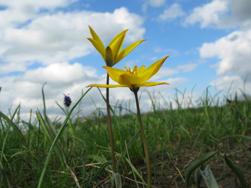 Тюльпан Биберштейна Tulipa biebersteiniana. Автор фото:Ирина Уханова