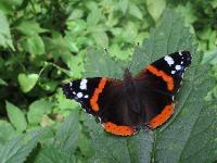 s:бабочки,c:с красными полосами,s:дневные бабочки,c:темно-коричневые,размах крыльев до 65 мм