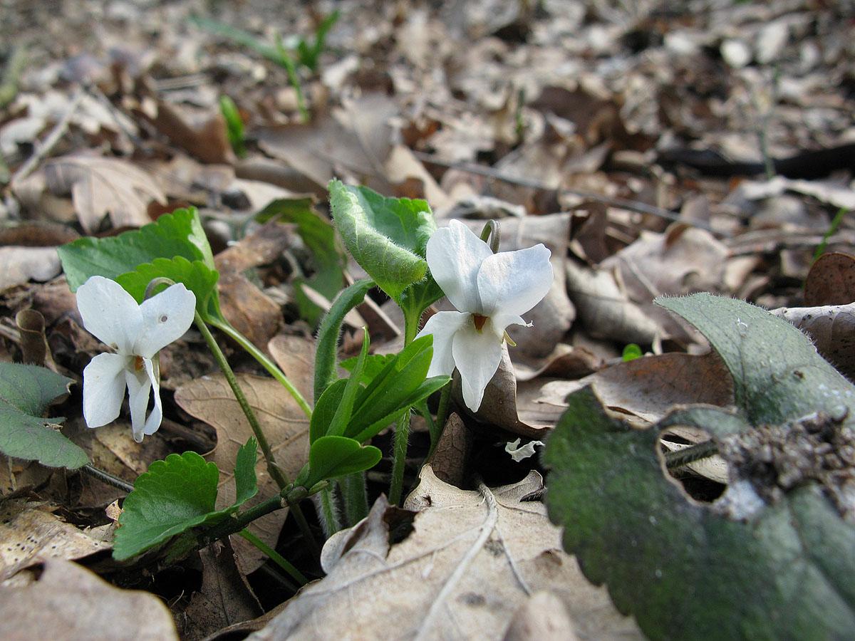 Фиалка белая (Viola alba). Автор фото: Ирина Уханова