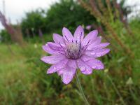 s:травянистые,c:фиолетовые или лиловые,c:лилово-розовые,b:прямостоячий,l:по длине стебля,l:очередные,околоцветник актиноморфный,околоцветник сростнолепестный,f:семянка,i:редкие и охраняемые