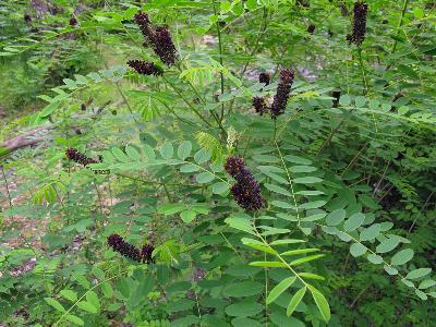 Аморфа кустарниковая (Amorpha fruticosa) Автор: Ирина Уханова