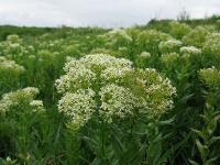 s:многолетние,s:травянистые,c:белые,f:стручок,f:боб,d:антропогенное,d:в парках и садах,d:на залежах и пустырях,d:в парках и садах,соцветия - кисть,соцветия - щиток