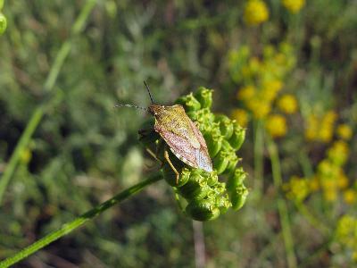 Щитник черноусый (Carpocoris purpureipennis) Автор: Ирина Уханова