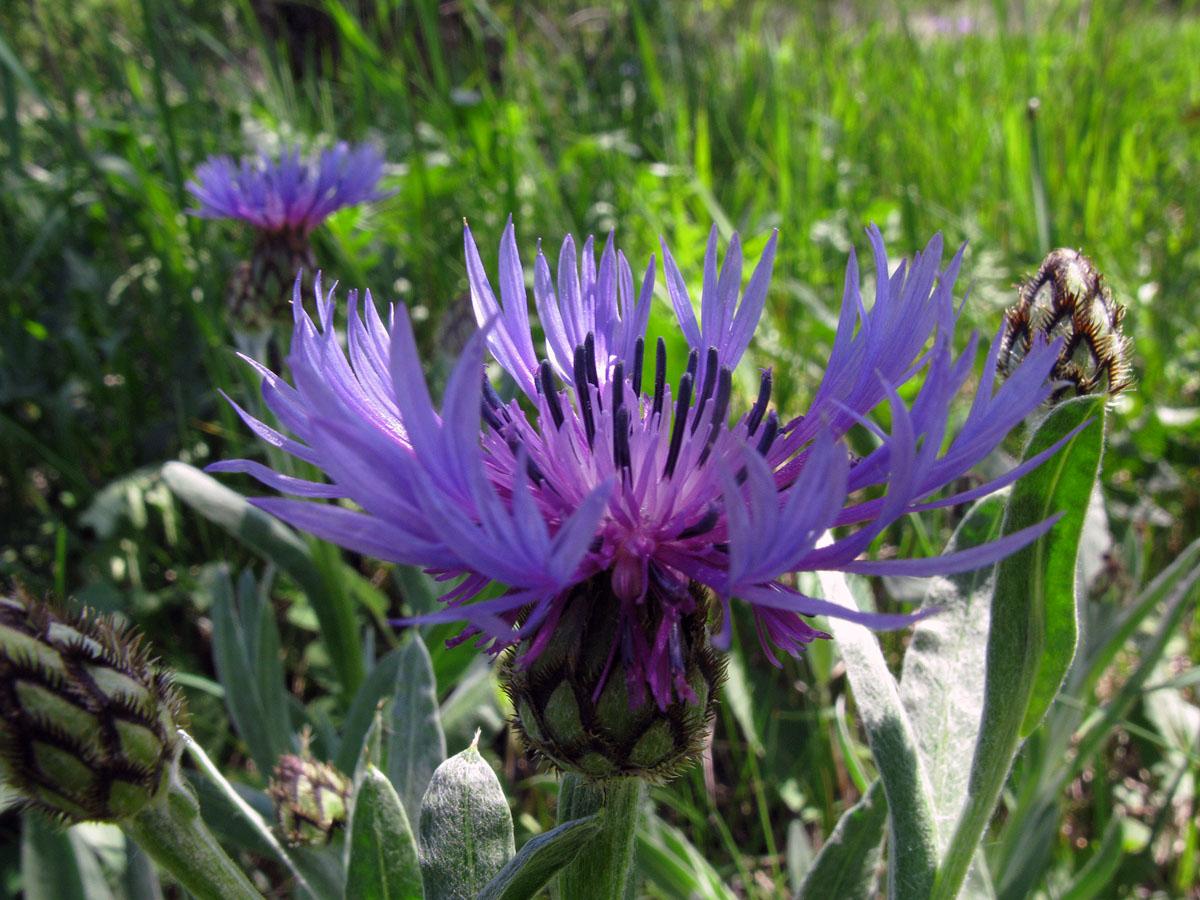 Василёк черкесский (Centaurea czerkessica). Автор фото: Ирина Уханова