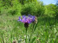 s:травянистые,i:многолетние,c:синие или голубые,d:в степях,i:Красная книга Ставропольского края