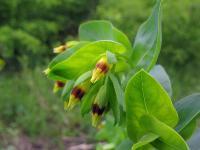 s:травянистые,l:очередные,b:прямостоячий,c:желтые,лепестков 5,околоцветник сростнолепестный,околоцветник актиноморфный,i:декоративные,i:лекарственные,f:орешек